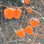 今年はあんぽ柿を出荷できないため、収穫できない柿が畑に残されたままになっている。2011/12