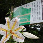 女神山登山道入口に咲く見事なヤマユリの花 2010/7/20