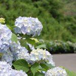梅雨空に映えるあじさい。初夏、糠田の町道長畑線には、色とりどりのあじさいが咲き乱れます。2010/7/2