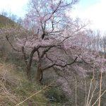 春、林道七ツ森線には桜や梅、コブシ、木蓮などが咲き賑わいます。2010/4/18