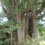 大枝から垂れ下がる気根からこの名前の由来です。