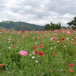 つきだて花工房のポピー畑。ポピー畑の先には美しい里山の風景も。2010/5/30