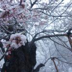 季節はずれの雪に耐える細布の緑の文化桜2011/4/19