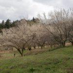 つきだての梅は3月後半から4月始め頃咲きます